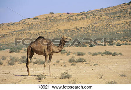 Stock Photography of dromedary.