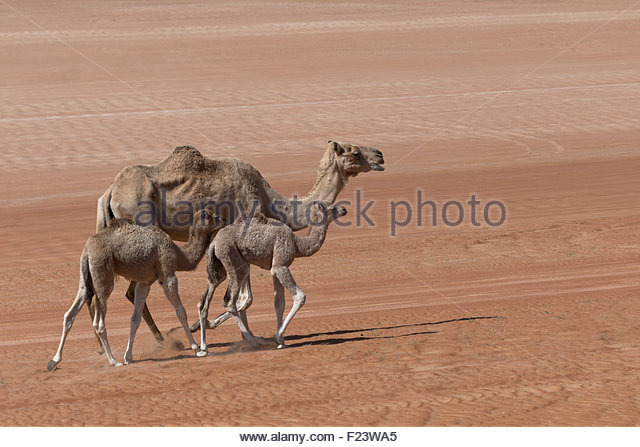 Dromedaries Oman Stock Photos & Dromedaries Oman Stock Images.