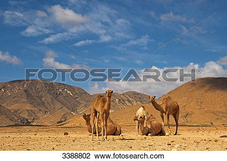 Stock Photo of Group of dromedaries (Camelus dromedarius) in the.