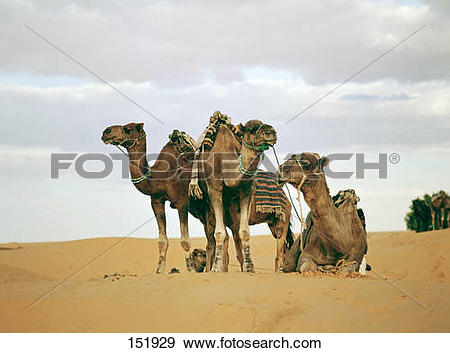 Stock Photograph of four dromedaries in the desert / Camelus.