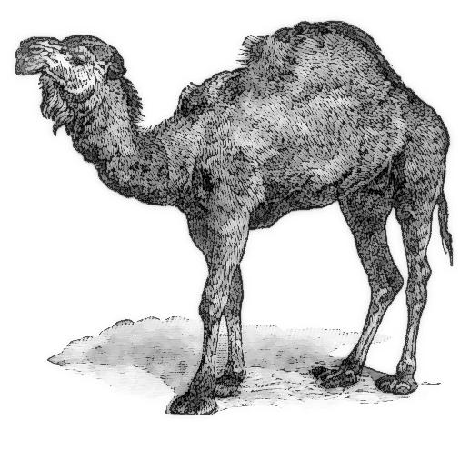 dromedary Camelus dromedarius.