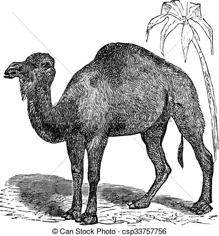 Clipart Vector of Dromedary or Camelus dromedarius vintage.