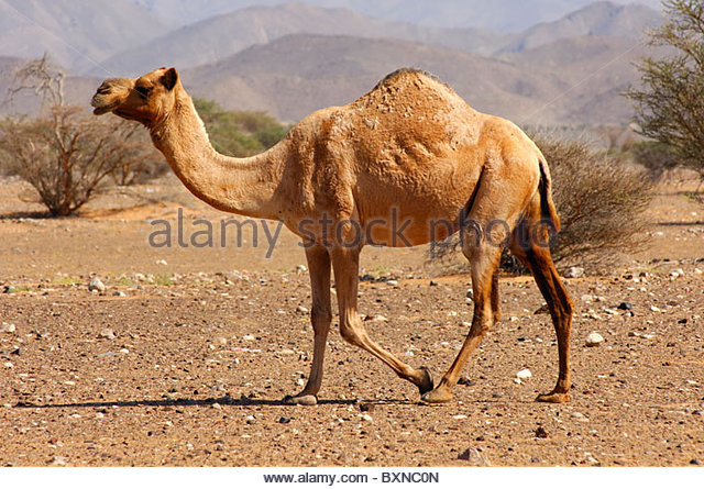 The Dromedary Stock Photos & The Dromedary Stock Images.