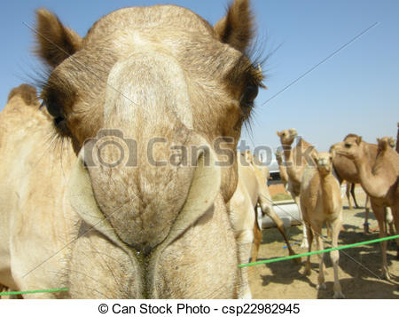 Drawing of Arabian camel (Camelus dromedarius).