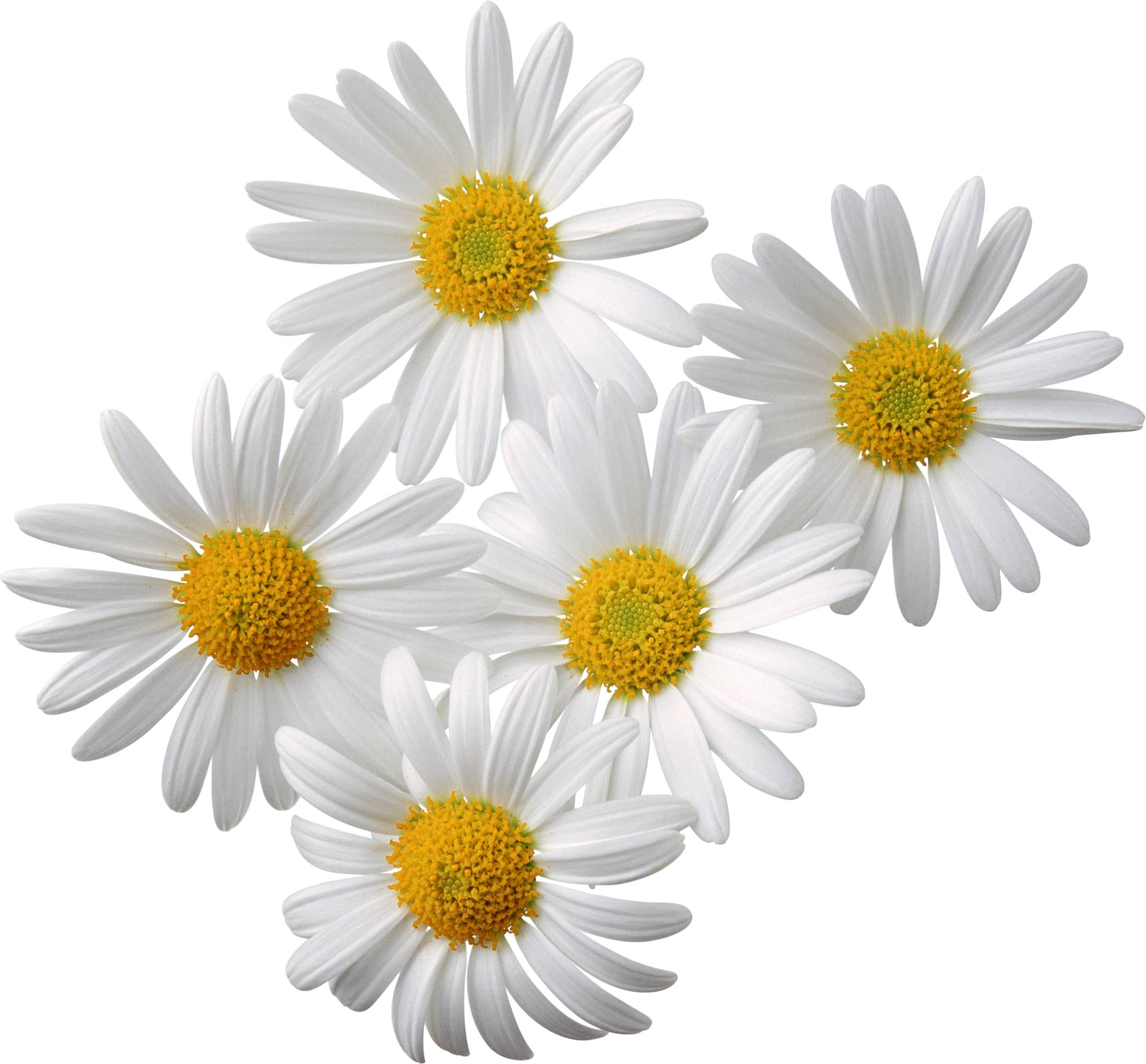 Camomile PNG image, free picture flower download.