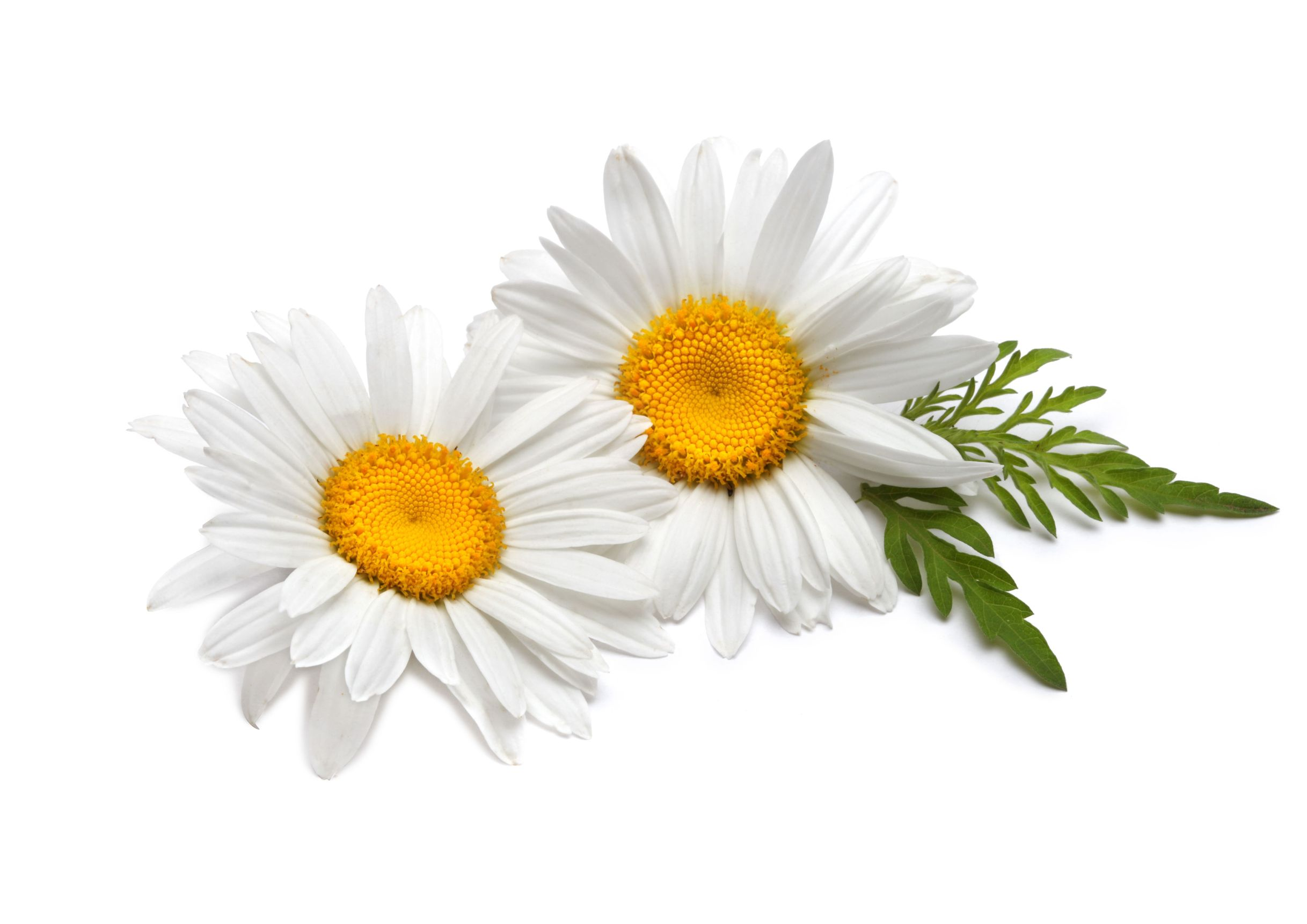 Chamomile HD PNG Transparent Chamomile HD.PNG Images..