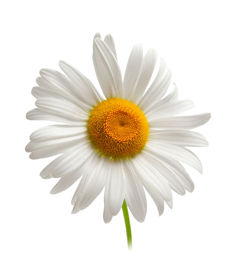 Camomile PNG Photo.