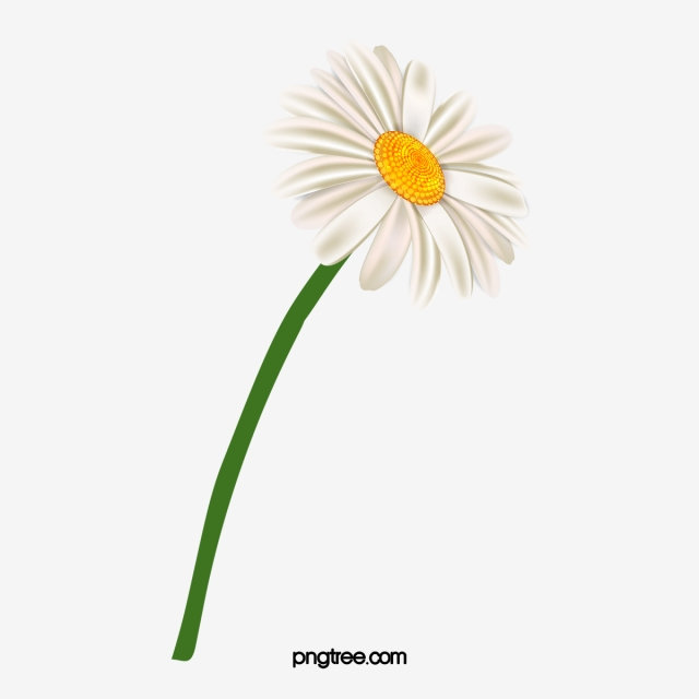 Chamomile PNG Images.