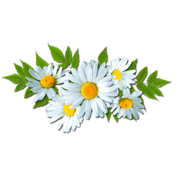 Camomile PNG Picture.