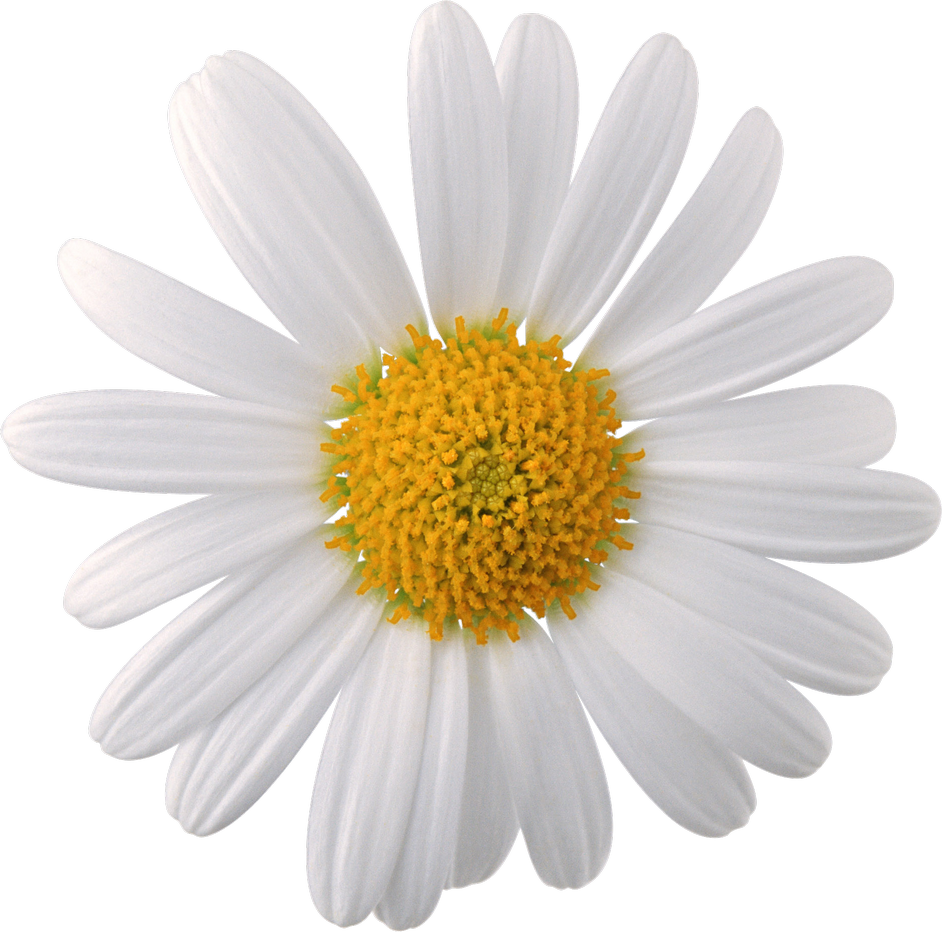 Camomile PNG Image.