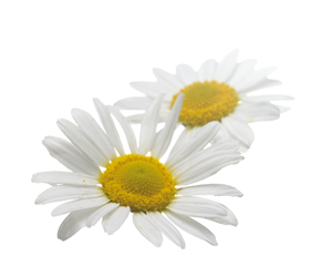Download Free png Camomile.