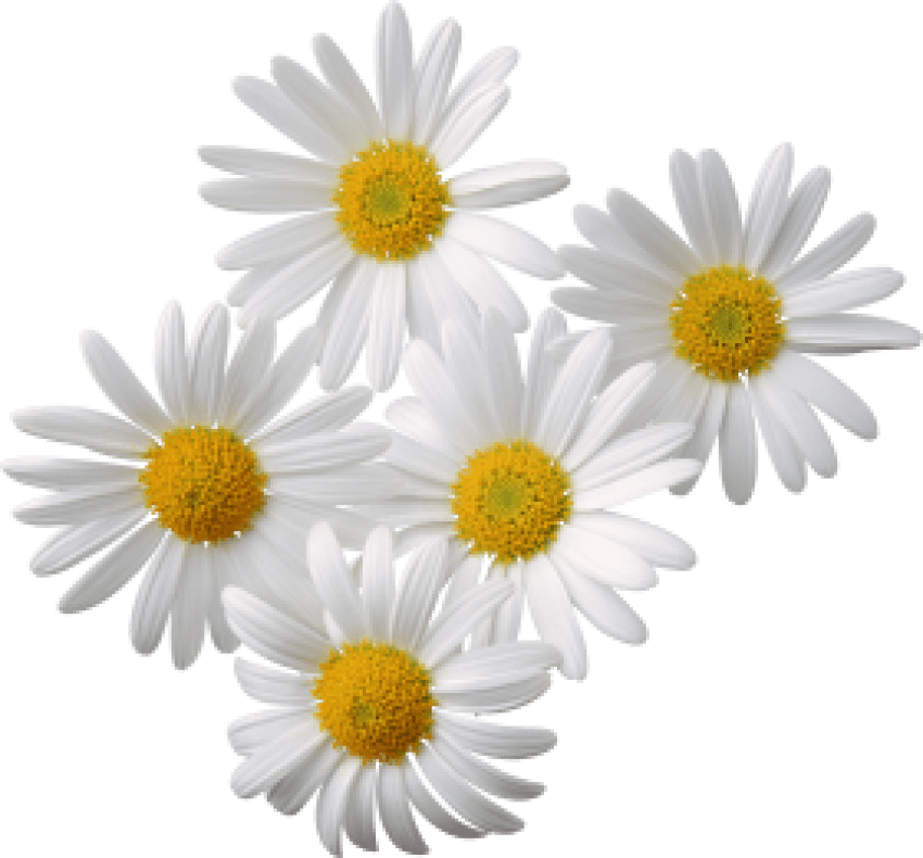 Camomile Png & Free Camomile.png Transparent Images #2027.