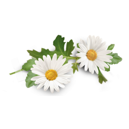 Download Free png Camomile Essential Oil.