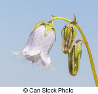 Stock Photographs of Bellflower (Campanula).