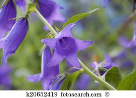 Campanula Stock Photos and Images. 3,111 campanula pictures and.