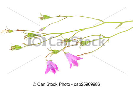 Pictures of Harebell (Campanula Rotundifolia) on White Background.