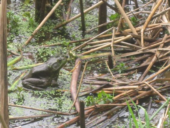 Bull frog at Campbell Valley Regional Park.