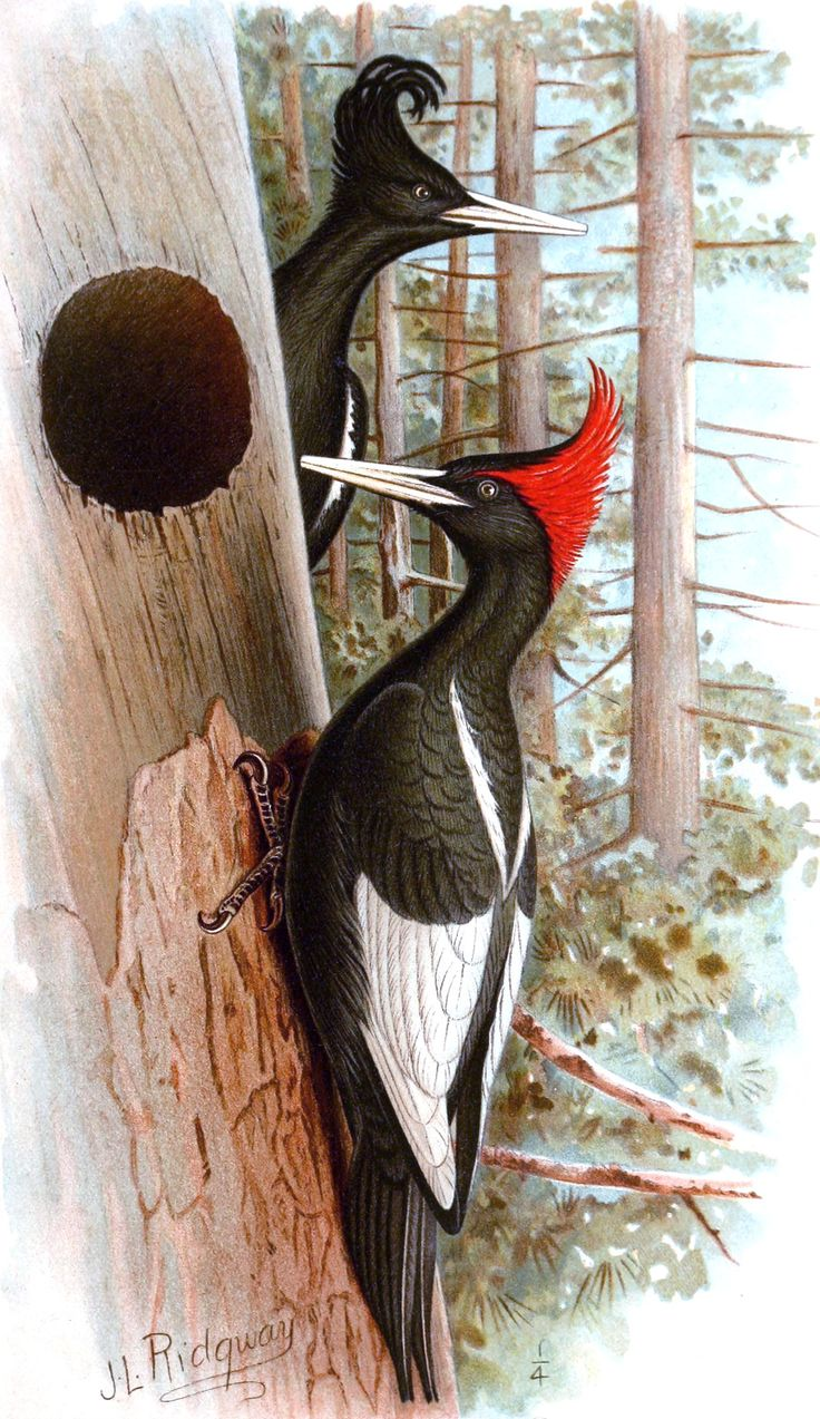 1000+ images about Ivory Billed Woodpecker on Pinterest.