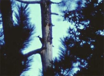 Imperial Woodpecker.