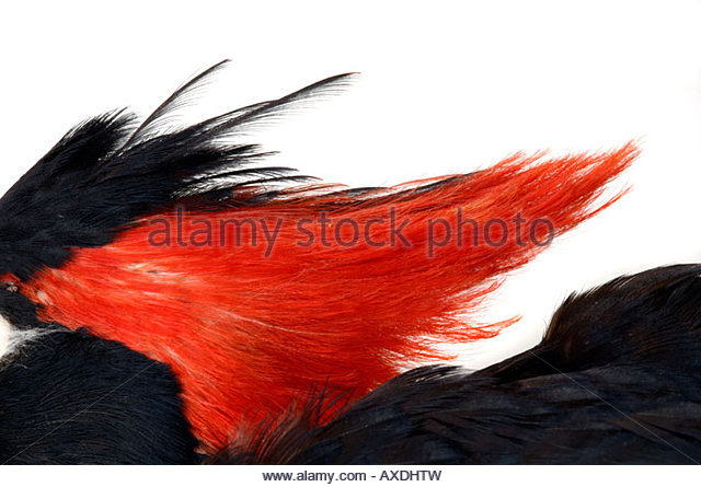 Feather Crest Stock Photos & Feather Crest Stock Images.