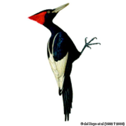 Campephilus imperialis (Imperial Woodpecker).