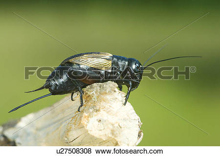 Pictures of field cricket, animal, fauna, campestris, animals.