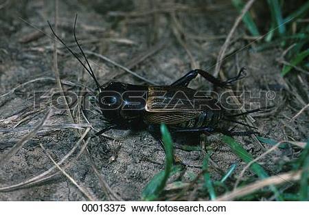 Stock Image of Gryllidae, Juniors, animal, animals, campestris.