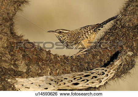 Stock Images of Cactus Wren (Campylorhynchus brunneicapillus) on.