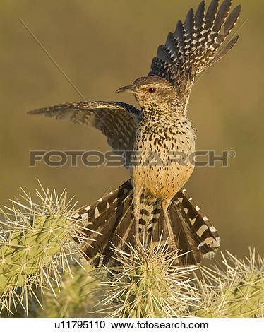 Stock Photography of Cactus Wren, Campylorhynchus brunneicapillus.