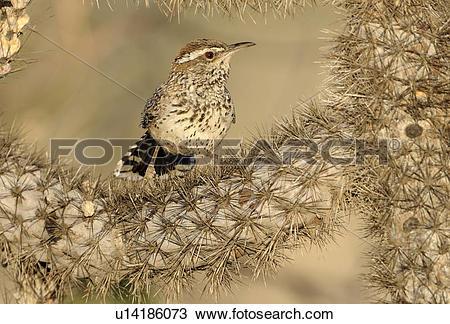 Stock Photo of Cactus Wren (Campylorhynchus brunneicapillus) on.