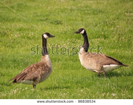 "canada Geese"" Stock Photos, Royalty."