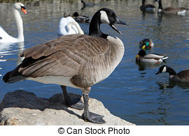 Stock Photo of Canada Goose Branta canadensis in pond in early.