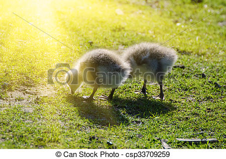 Stock Images of Canada goose bird.