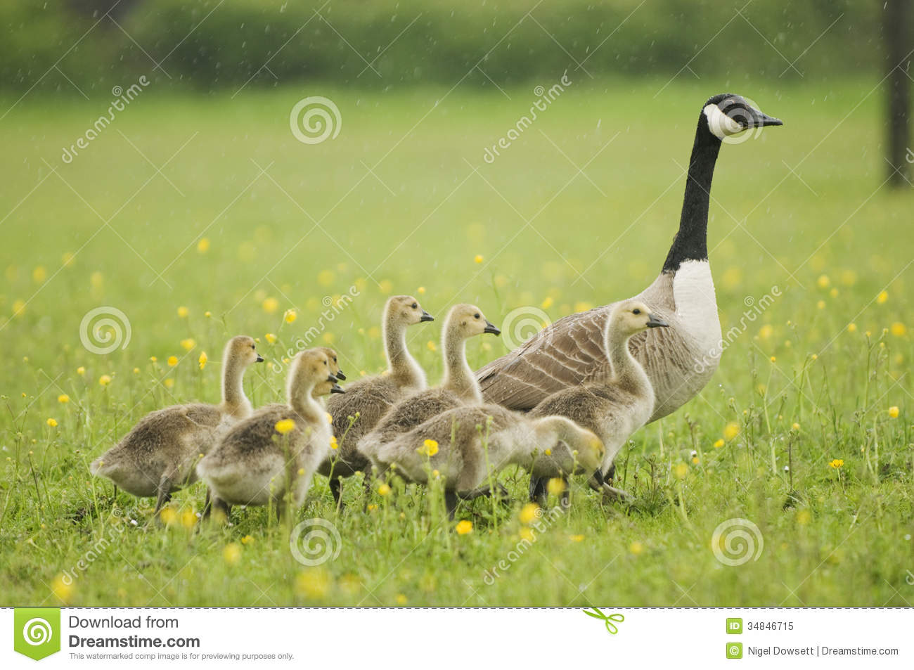 Canada Goose (Branta Canadensis) With Goslings Royalty Free Stock.