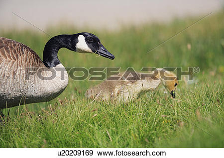 Stock Photograph of A mother Canada Goose (branta canadensis) and.