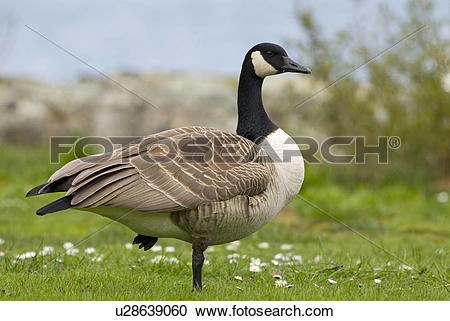 Stock Photography of Canada Goose (Branta canadensis) standing on.
