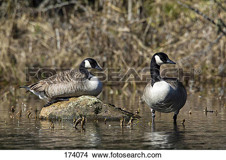 Stock Photo of Canada Goose (Branta canadensis), couple in shallow.