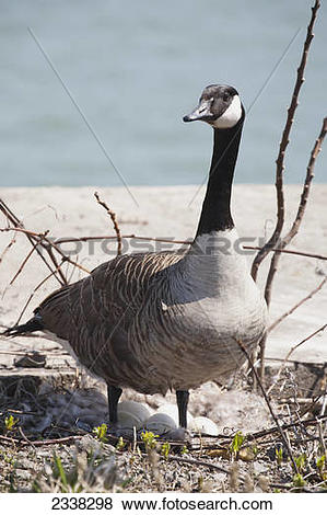 Pictures of A Canada goose (Branta canadensis) standing over nest.