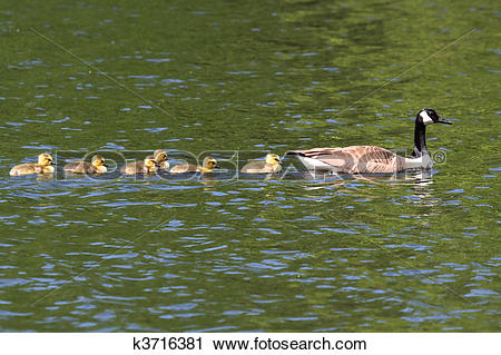 Stock Photography of Canada Goose (Branta canadensis) with Babies.