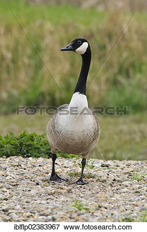 "Picture of ""Canada Goose (Branta canadensis), introduced species."