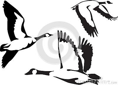 Canadian Goose Stock Illustrations.