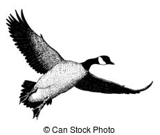 Canada goose Images and Stock Photos. 3,329 Canada goose.