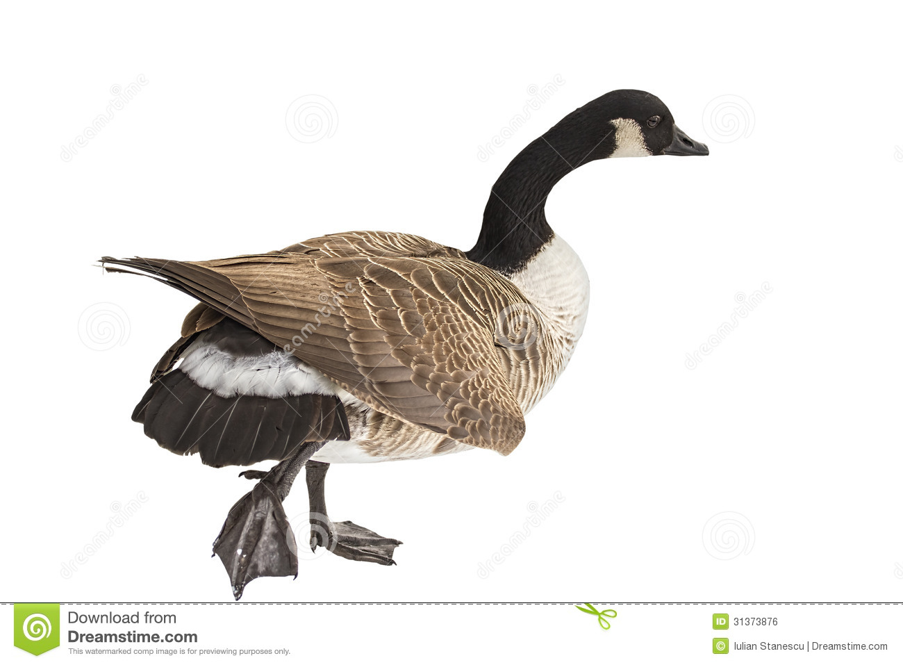 Canadian Goose Clip Art The Canada Goose Royalty Free #cAF4FN.