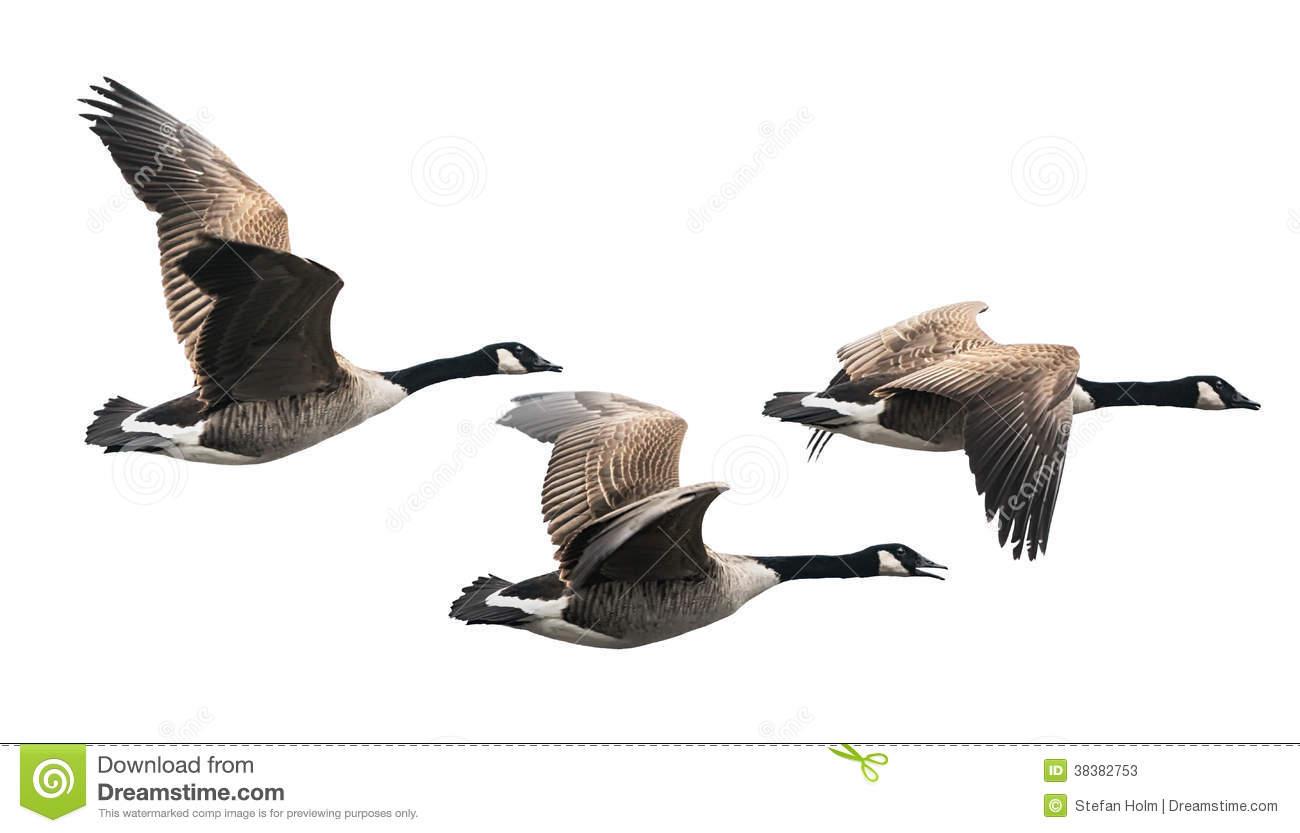 Canada Goose Graphics.