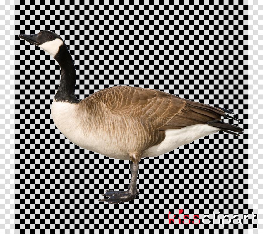bird canada goose water bird beak goose clipart.