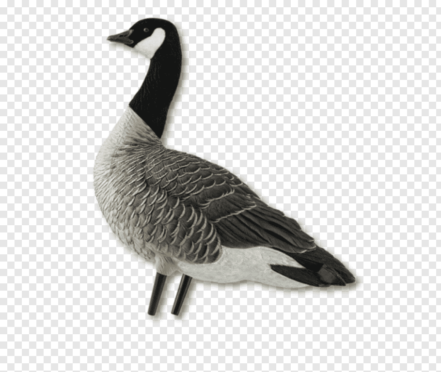 Canada Goose cutout PNG & clipart images.