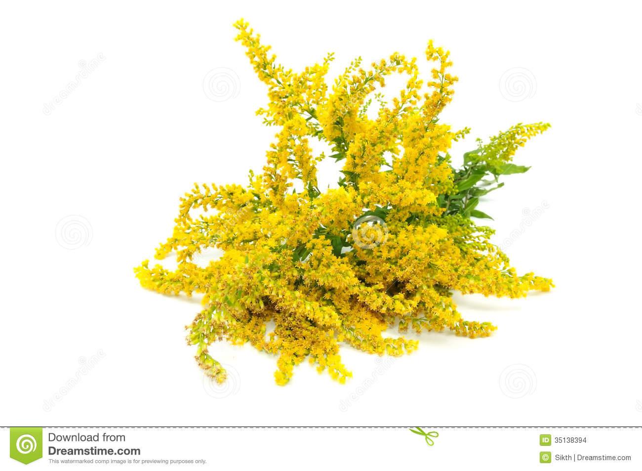 Canada Goldenrod Flowers Isolated On White Background Stock Photo.