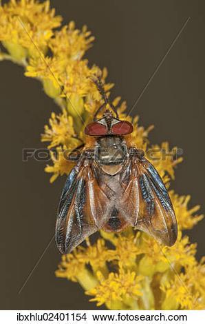 "Stock Photo of ""Tachinid Fly (Phasia Hemiptera) on Canadian."