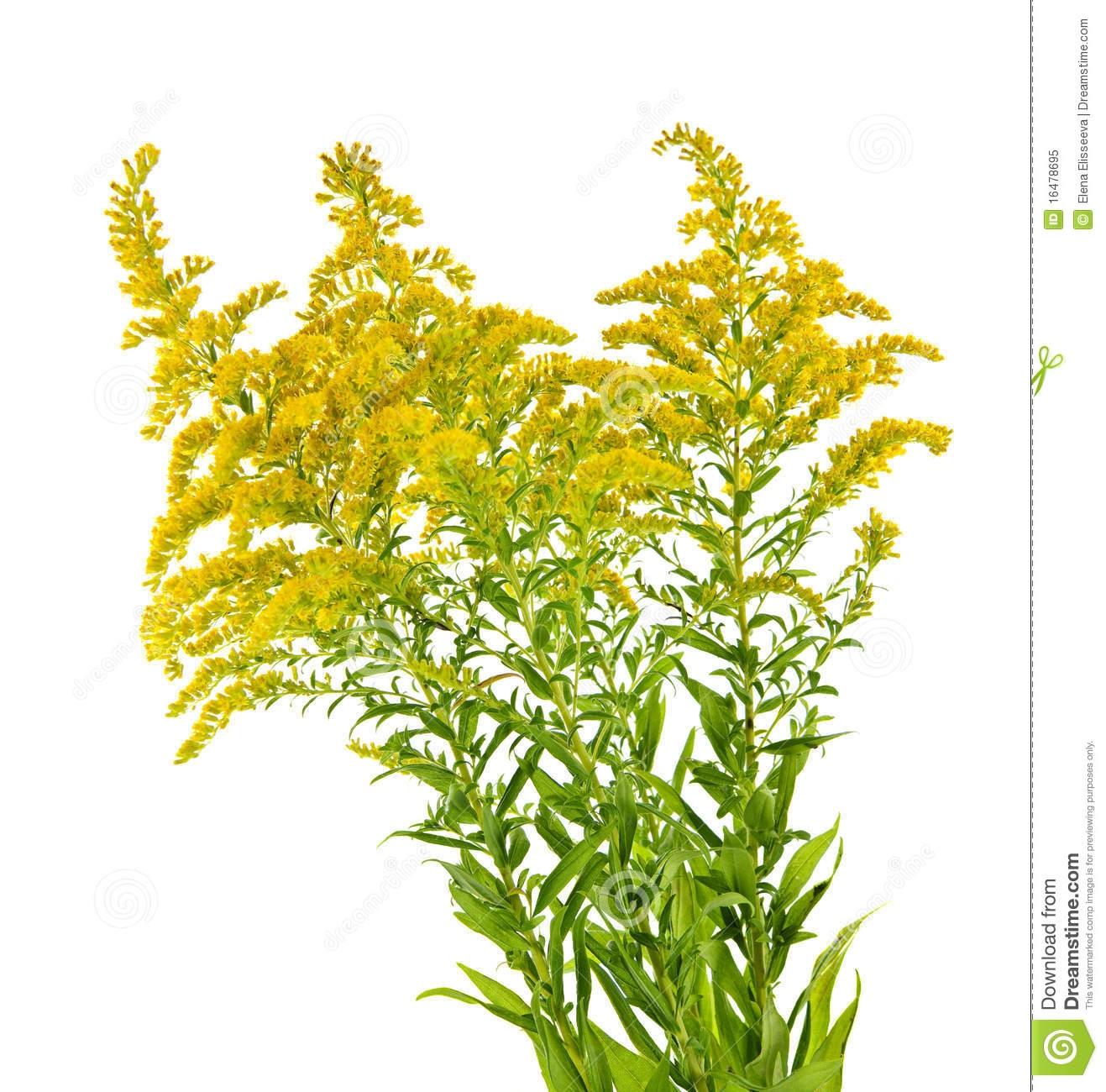 Goldenrod flower clipart.