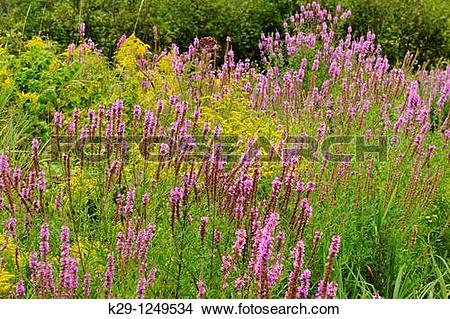 Stock Photo of Purple loosestrife Lythrum salicaria infesting a.